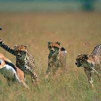 Kenya, Masai Mara Game Reserve, Family of Cheetah (Acinonyx jubatas) chase Thomson's Gazelle (Gazella thomsonii)