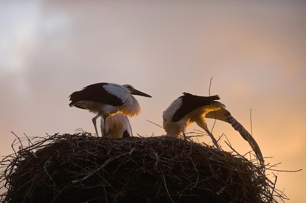 White stork (Ciconia ciconia) nestlings, Hortobagy National Park, Hungary