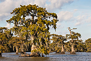 Moss covered cypress in Lake Fausse in St. Martinville, LA. Lake Fausse Pointe, a 12,000 acre lake that is home to the oldest cypress trees in the Atchafalaya Swamp.