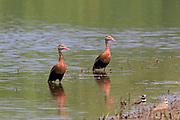 Black-bellied whistling duck (tree duck) in wetland habitat.