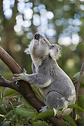 Koala <br /> Phascolarctos cinereus<br /> Adult male bellowing to female<br /> Queensland, Australia<br /> *Captive