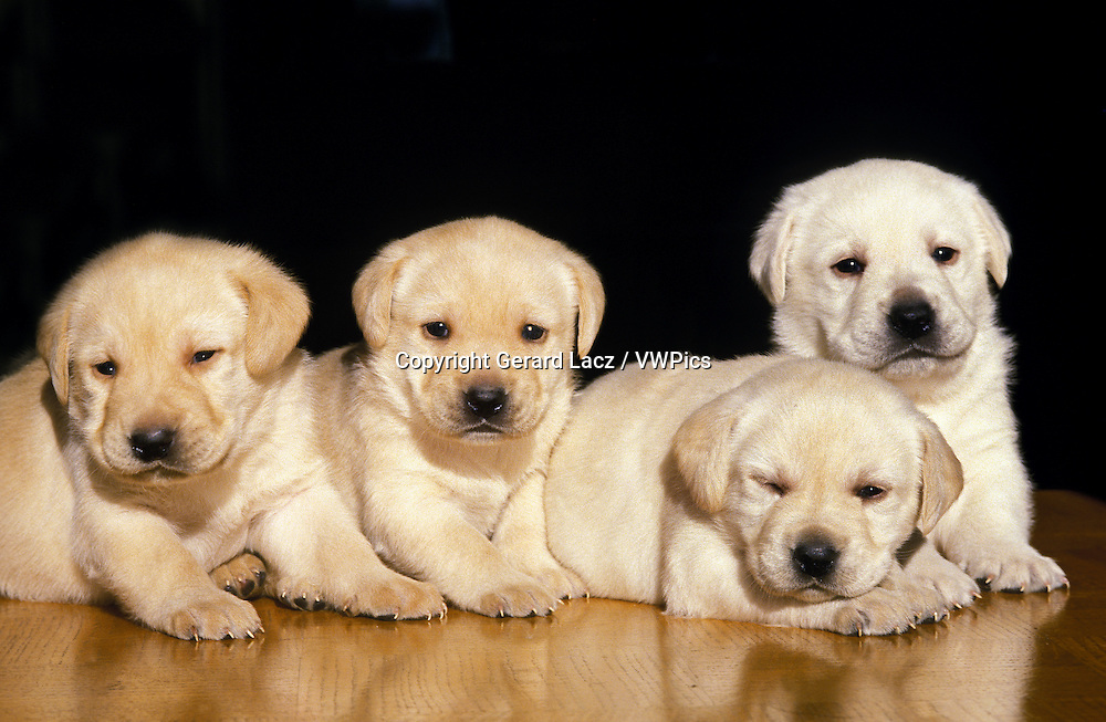 Yellow Labrador Retriever Dogs, Pups against Black Background