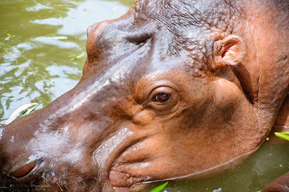 Hippo at the  Samphran Elephant Ground & Zoo Nakhon Pathom province Thailand