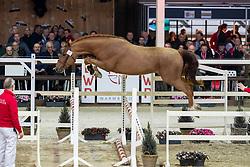 021, Qrumble JW van de Moerhoeve<br /> Hengstenkeuring BWP - Lier 2019<br /> © Hippo Foto - Dirk Caremans<br /> 18/01/2019
