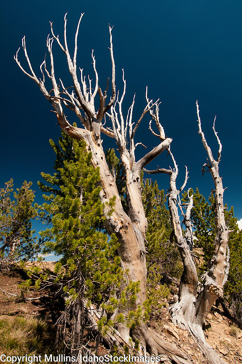 Whitebark Pine (Pinus albicaulis) in the White Cloud Mountains Idaho