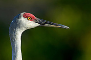 Storks and cranes
