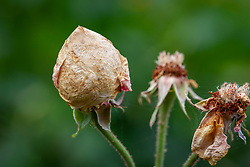 Rose balling on Rosa 'Comte de Chambord' caused by damp and preventing flowers from opening