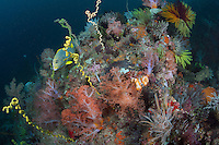 Ribbon Sweetlips on Deep Coral Head with Healthy Soft Corals and Feather Stars..Shot in Indonesia