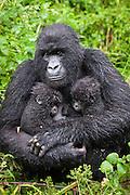 Mountain Gorilla<br /> Gorilla gorilla beringei<br /> Mother holding 5 month old twin babies<br /> Parc National des Volcans, Rwanda<br /> *Endangered species