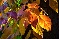 Posion ivy leaves changing colors in autumn.