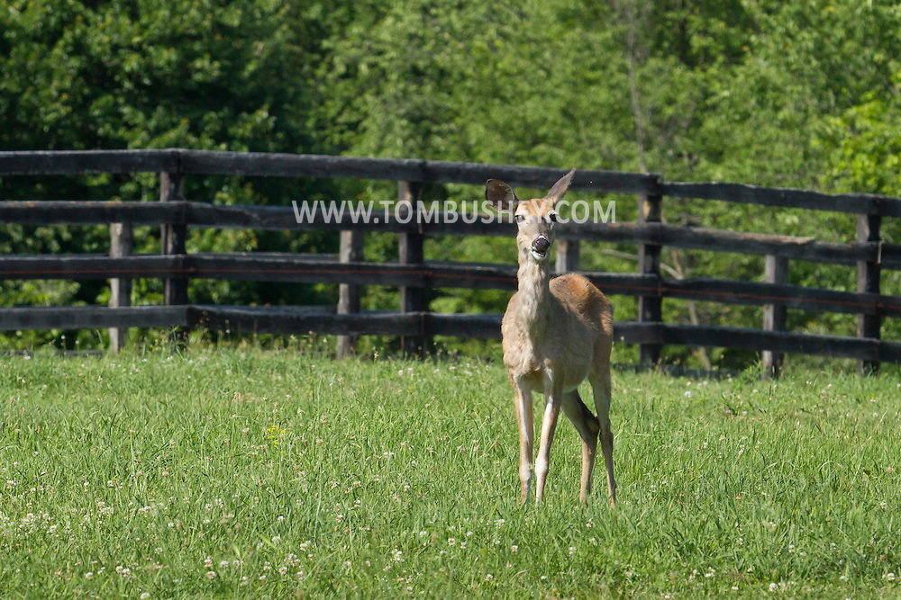 Goshen, New York - A white-tailed deer feeds in a farm field on June 22, 2014. ©Tom Bushey / The Image Works