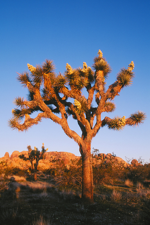 Joshua Tree at sunrise; Joshua Tree National Park, Mojave Desert, California.  .