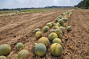 Israel, Watermelon (Citrullus vulgaris) harvesting
