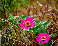 Zinnia. Image taken with a Fuji X-H1 camera and 200 mm f/2 lens + 1.4x teleconverter