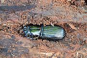 Bess beetle; Odontotaeniius disjunctus; in rotten log; PA, Philadelphia, Schuylkill Center