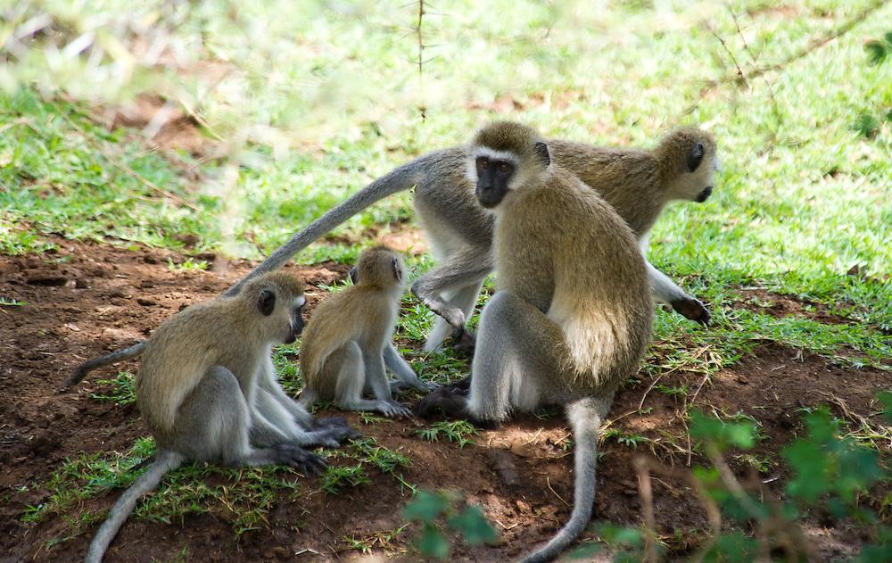 Family of vervet monkeys