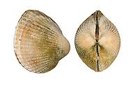Lagoon Cockle - Cerastoderma glaucum