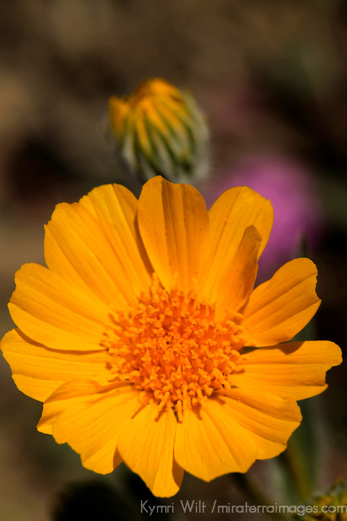 USA, California, San Diego County. Desert Sunfower  (Geraea canescens).