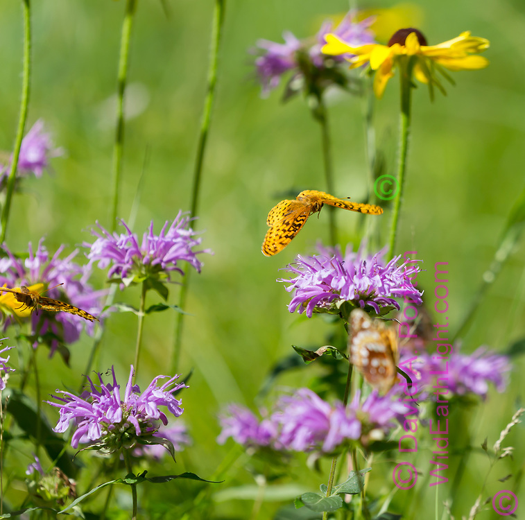 Fritillary butterfly flying over a horsemint blossom in a mountain meadow, with a black-eyed Susan in the background. Jemez Mountains, NM. © 2010 David A. Ponton