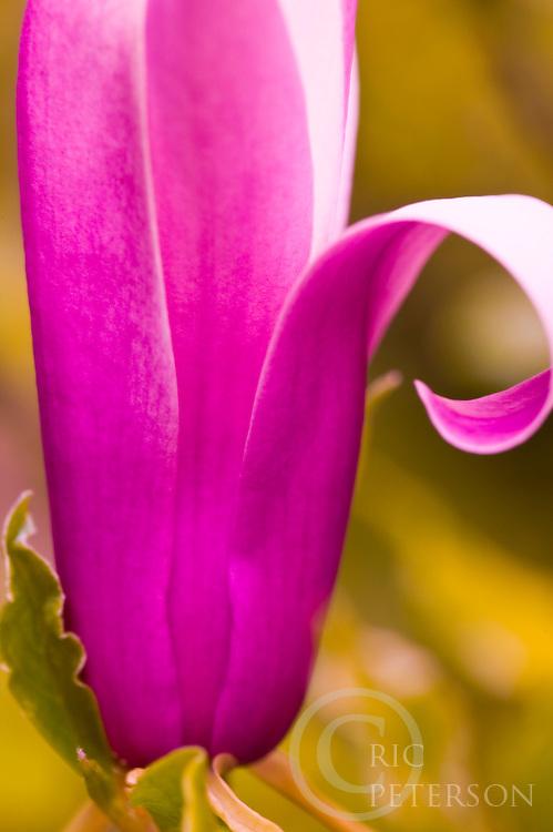 close up of tulip tree blossom