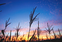 The top of a cornstalk silioutted against the setting sun on a farm between Campbellsport and Eden on Hwy V Wednesday.-patrick flood photo