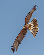 Juvenile Harris's hawk does a wingover to quickly turn and drop, © 2011 David A. Ponton