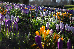 © Licensed to London News Pictures. 21/02/2014. Basingstoke, Hampshire. Crocus flowers bathed in morning sunshine in Basingstoke this morning 21st February 2014. Photo credit : Rob Arnold/LNP