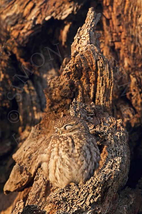 Little Owl (Athene noctua) adult, perched in dead tree, sleeping, Norfolk, UK.
