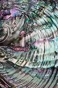 Abalone shell, 2004