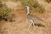 Kori Bustard, Ardeotis kori, in Samburu National Park, Kenya.