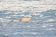 01874-12203 Polar Bear (Ursus maritimus) mother and cub jumping on ice in Hudson Bay  in Churchill Wildlife Management Area, Churchill, MB Canada