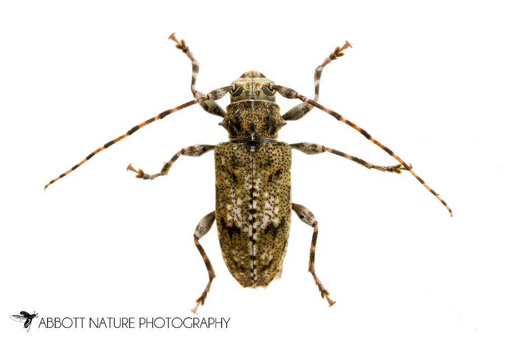 Flat-Faced Longhorn (Aegomorphus modestus)<br /> United States: Alabama: Tuscaloosa Co.<br /> Tulip Tree Springs off Echola Rd.; Elrod<br /> 28-May-2017<br /> J.C. Abbott #2954