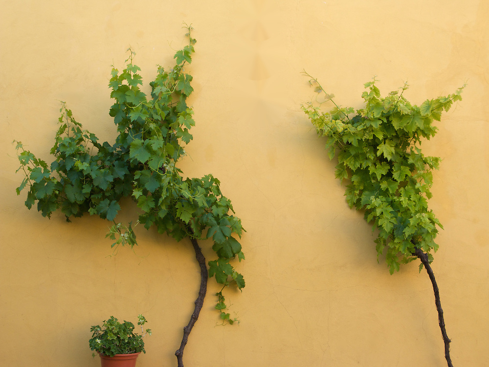 In the albergue in Boadilla del Camino there were grape vines growing up the wall. The contrast between the terracotta wall and green leaves was striking.
