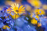Yellow Namaqua Daisy and blue flowers, Papkuilsfontein, Western Cape, South Africa