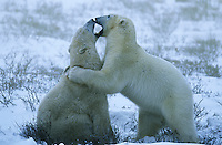 Canada Churchill polar bear cubs playing in snow