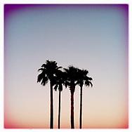 Palm Trees - Houston, TX