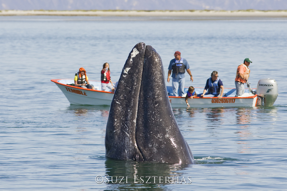 Gray Whale<br /> Eschrichtius robustus<br /> Spyhopping in front of whale watching boat<br /> San Ignacio Lagoon, Baja California, Mexico
