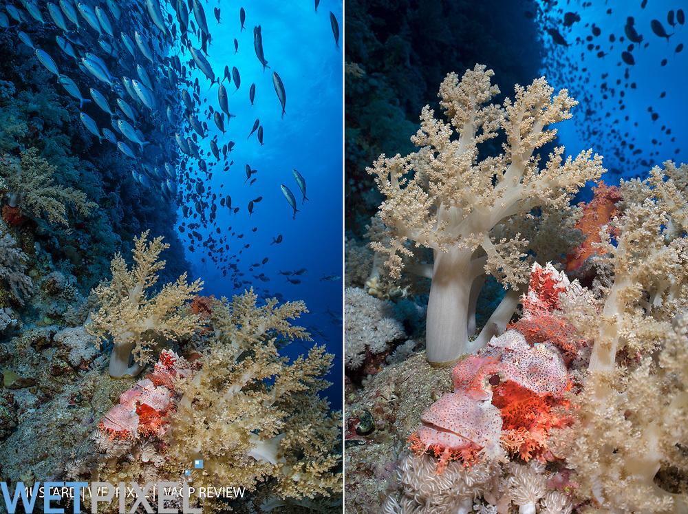 A smallscale scorpionfish (Scorpaenopsis oxycephala) hides in soft corals (Litophyton arboreum) while Red Sea fusiliers (Caesio suevica) swim overhead on a coral reef wall. Elphinstone Reef, Marsa Alam, Egypt. Red Sea.