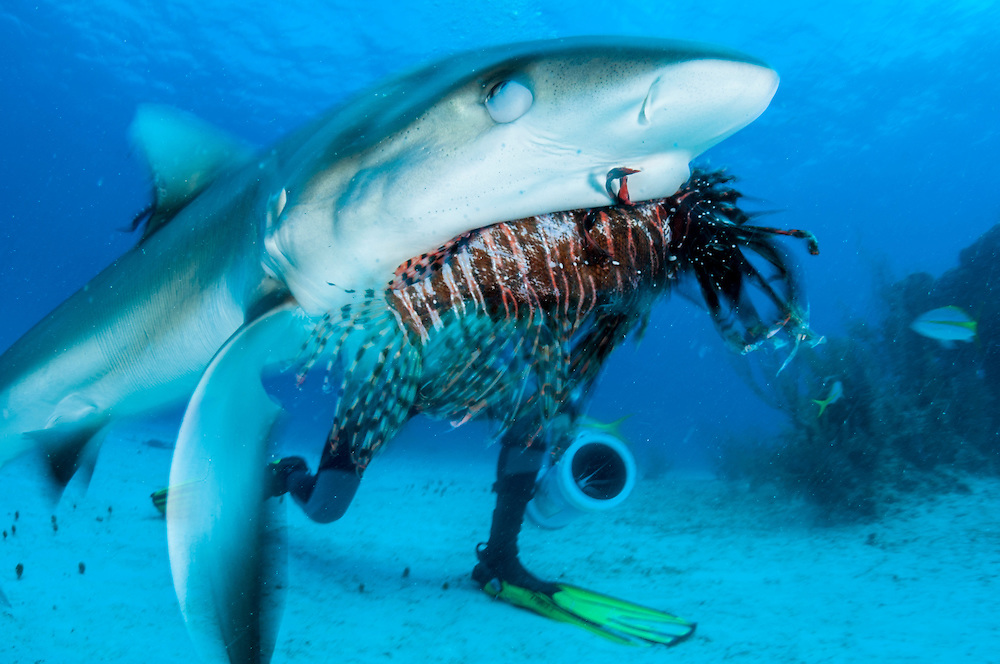 A lionfish is fed to a Caribbean reef shark, Carcharhinus perezii, off Grand Bahama Island in the Bahamas.