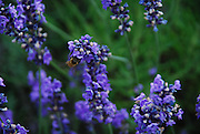 Bee on Lavender, Lakeside, OH