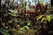 Kamakou Preserve rain forest, Molokai, Hawaii. USA.