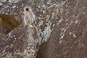 A vervet monkeys (Chlorocebus pygerythrus) in Matobo National Park, part of the Motopos Hiils area in Zimbabwe. The park is an U.N. UNESCO World Hertiage Site. © Michael Durham / www.DurmPhoto.com