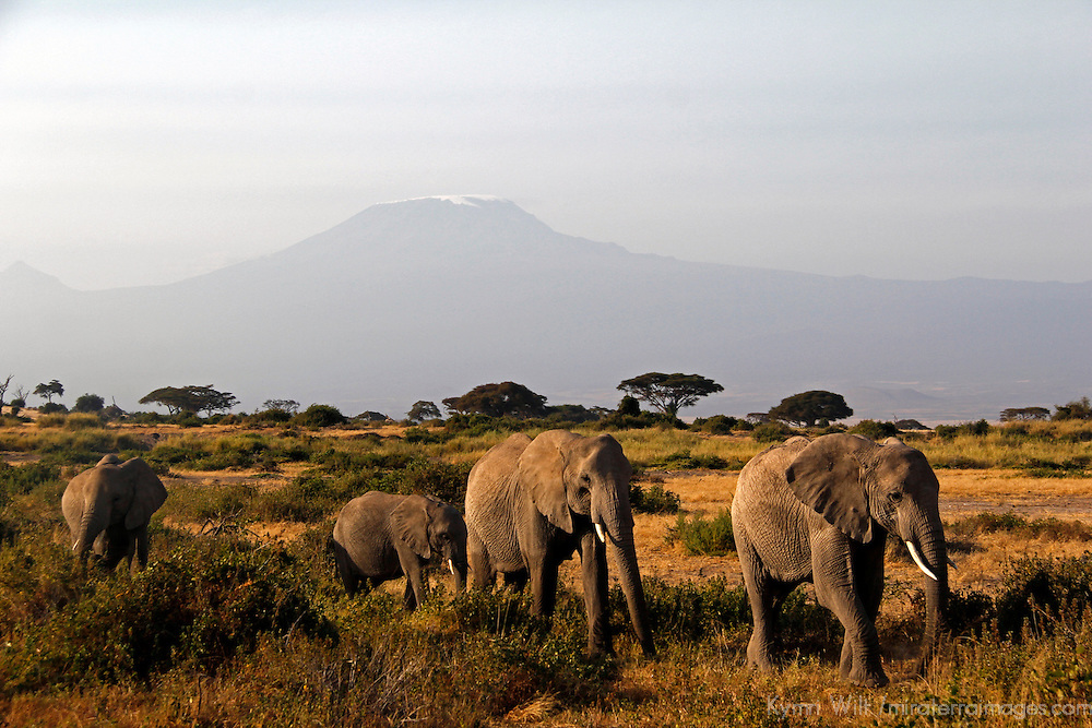 Africa, kenya, Amboseli. Elephants and Mt. Kilimanjaro.