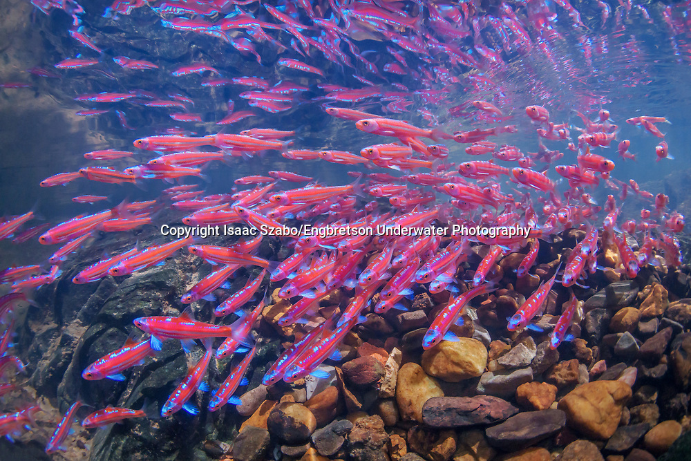 School of Rainbow Shiners in breeding colors<br />