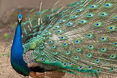 Peacocks and Peafowl Royalty Free Stock Images