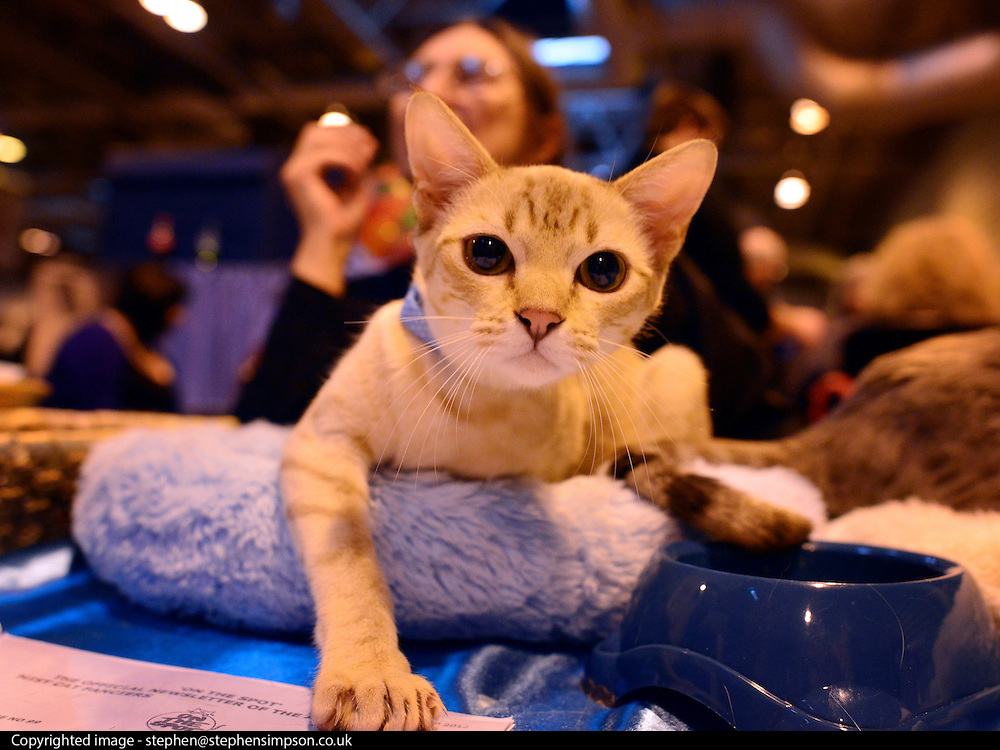 © Licensed to London News Pictures. 24/11/2012. Birmingham, UK An Australian Mist. Cats are shown by their owners and breeders at The Supreme Cat Show held by the Governing Council of Cat Fancy at the National Exhibition Centre in Birmingham today, 24 November 2012. The Cat Show is one of the largest cat contests in Europe with over one thousand cats being exhibited and judged. Photo credit : Stephen Simpson/LNP
