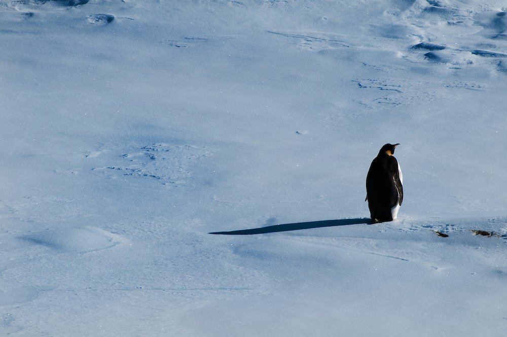 An emperor penguin casts a long shadow on an Antarctic ice floe.