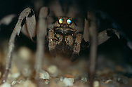 DEU, Deutschland: Spinnen, Tarantel (Lycosa) mit leuchtenden Augen, sitzt hochbeinig, Cuxhaven, Niedersachsen | DEU, Germany: Spiders, Tarantula (Lycosa) with shiny eyes, long-legged sitting, Cuxhaven, Lower Saxony |