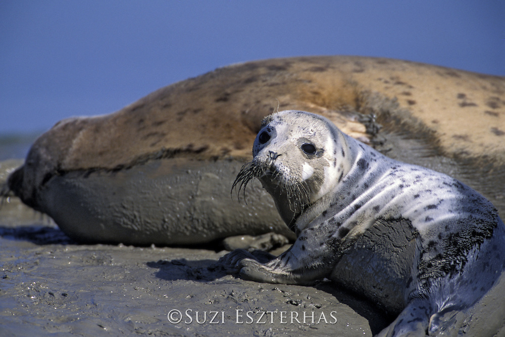 Harbor Seal <br /> Phoca vitulina<br /> Approx 2 wk old pup hauled out on mudflat<br /> Monterey Bay, CA, USA