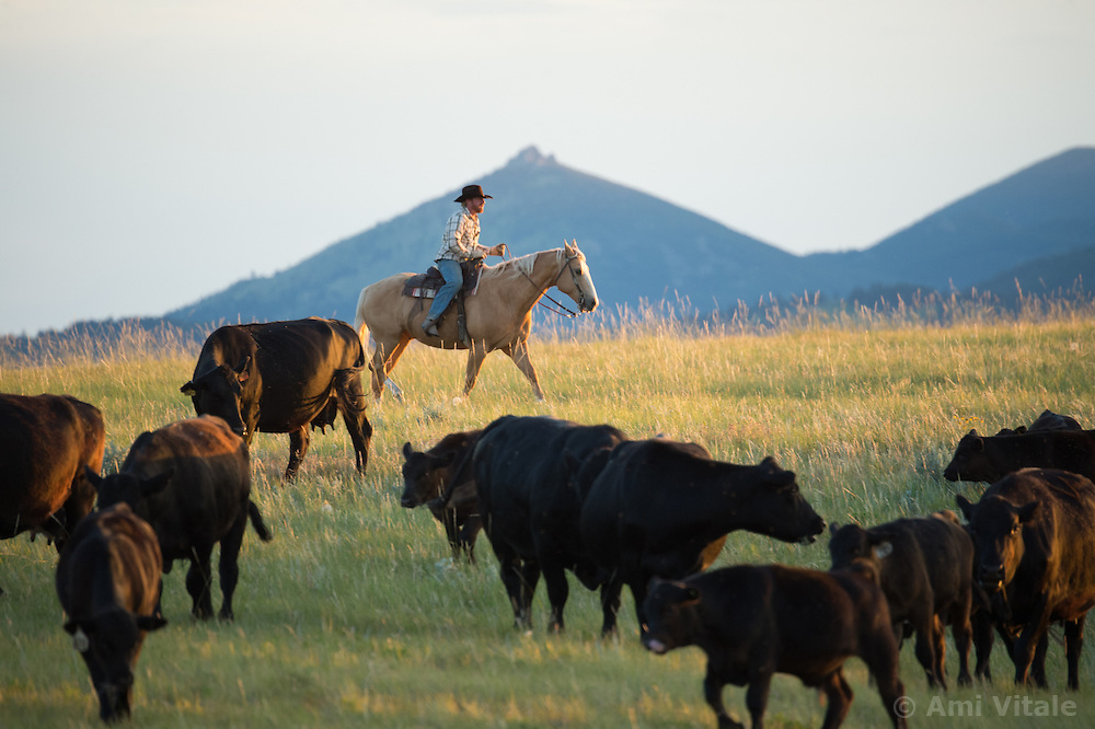 The Nature Conservancy's Matador Ranch Operations Manager Charlie Messerly works with  ranching families in Eastern Montana  at the Matador ranch &quot;grass bank&quot;. The &ldquo;grass bank&quot; is an innovative way to leverage conservation gains, in which ranchers can graze their cattle at discounted rates on Conservancy land in exchange for improving conservation practices on their own &ldquo;home&rdquo; ranches. In 2002, the <br /> Conservancy began leasing parts of the ranch to neighboring ranchers who were suffering from  severe drought, offering the Matador&rsquo;s grass to neighboring ranches in exchange for their  participation in conservation efforts. The grassbank has helped keep ranchers from plowing up native grassland to farm it; helped remove obstacles to pronghorn antelope migration; improved habitat for the Greater Sage-Grouse and reduced the risk of Sage-Grouse colliding with fences; preserved prairie dog towns and prevented the spread of noxious weeds. (Photo By Ami Vitale)